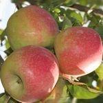 Целебные свойства яблок. Снижаем холестерин!